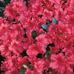 Rododendrai ir azalijos