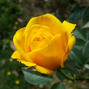 yellow-flower-209004